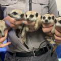 Sydney-Zoo-Meerkat-babies