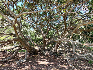 Mort Bay - fig tree branches