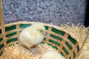 Royal Easter Show-chick
