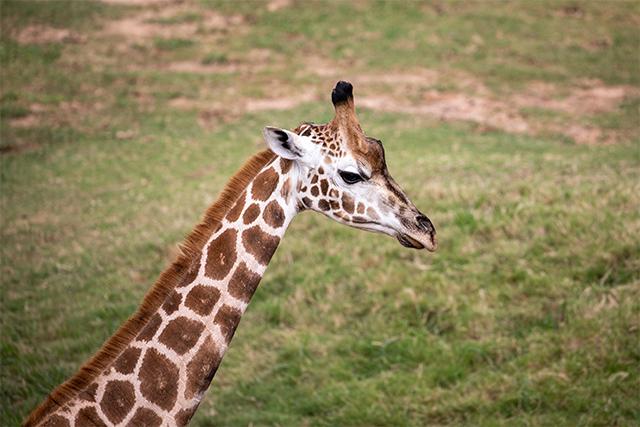 Sydney Zoo Nzuri Giraffe